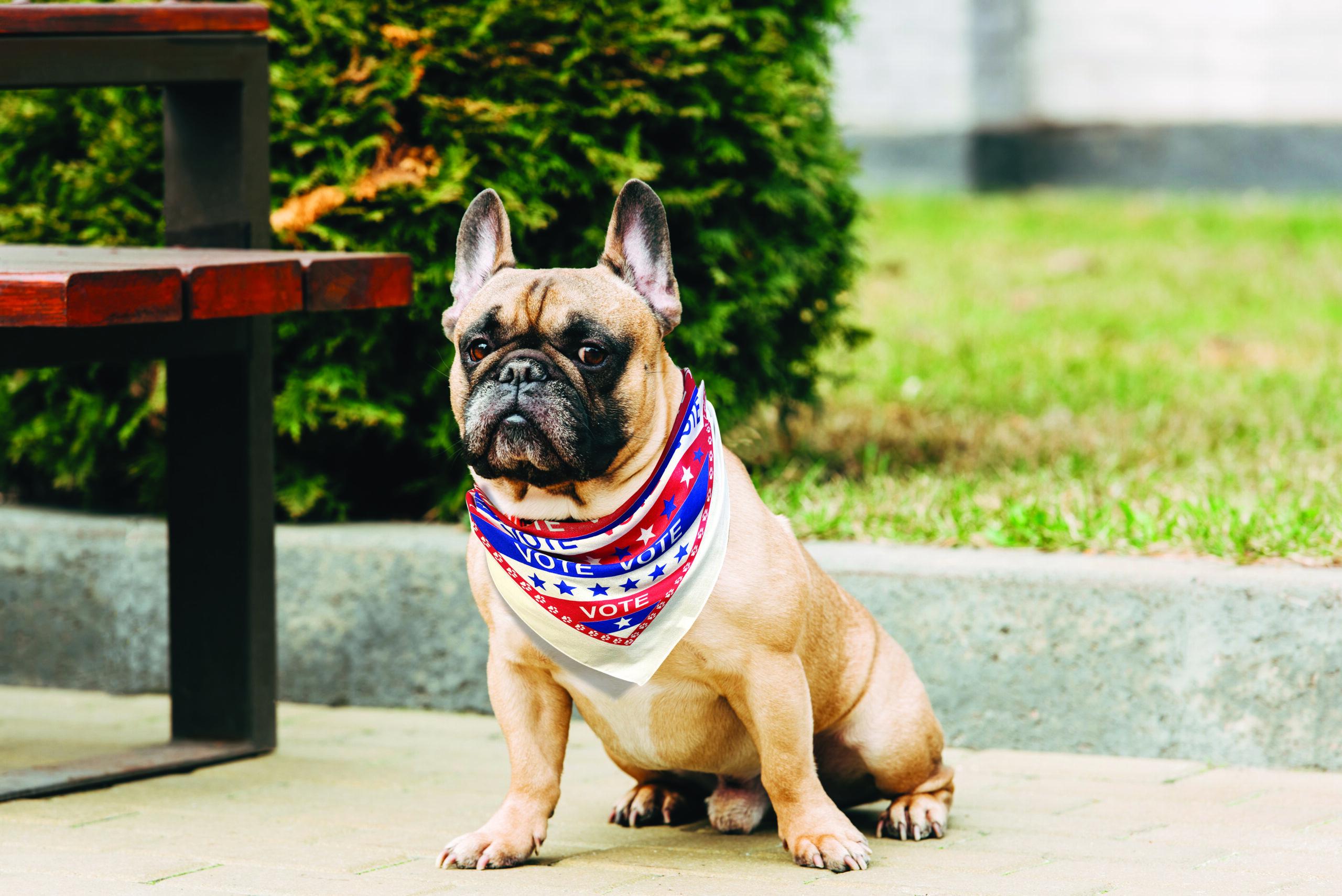 Bulldog wearing bandana bandanna
